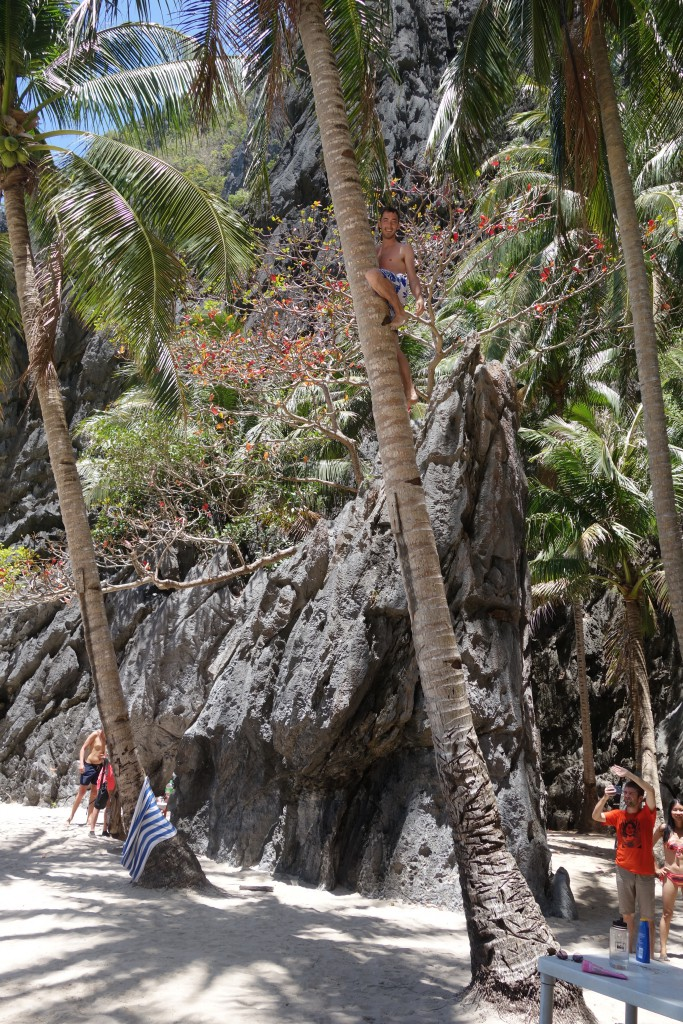 Climbing coconut palms is easy!