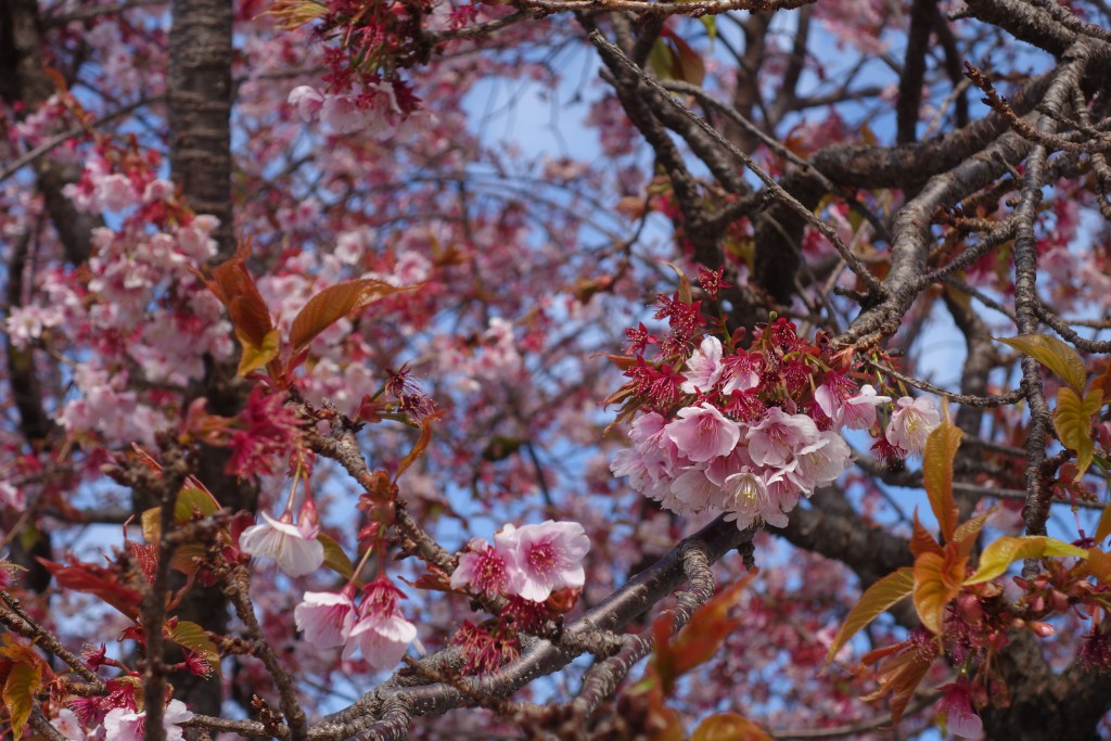 A close up of the sakura tree.