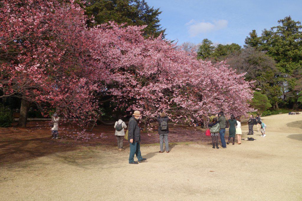 Crowds of people taking pictures of the cherry blossoms.