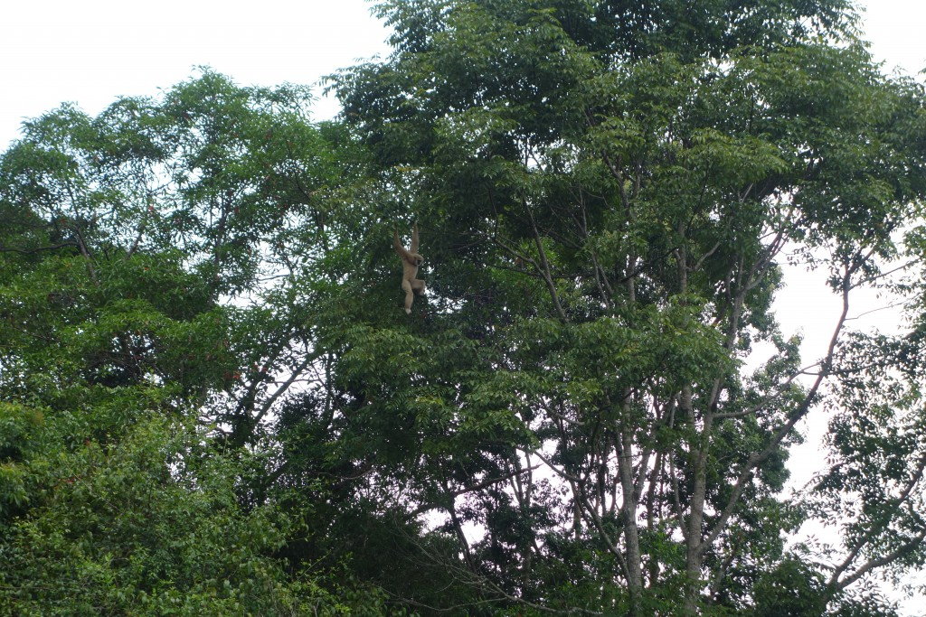 A gibbon up in the trees.