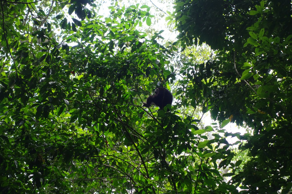 A gibbon in the canopy.
