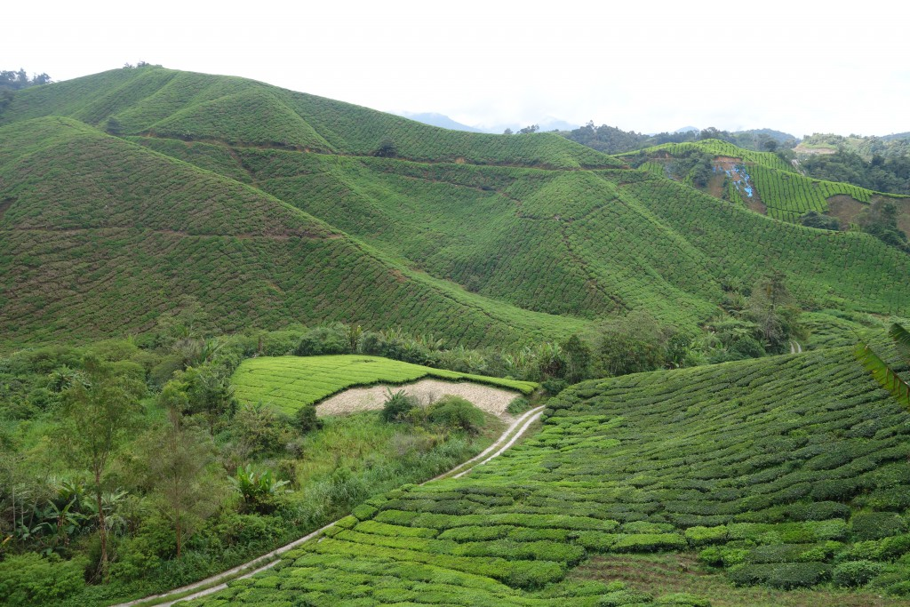 Boh tea plantation in the Cameron Highlands.